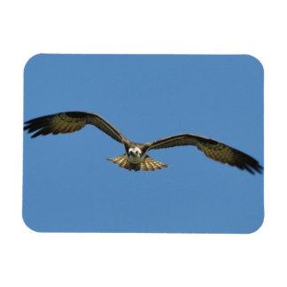 Osprey Flying! Rectangular Photo Magnet