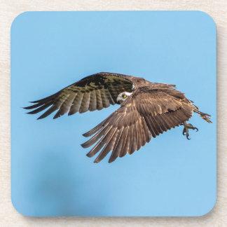 Osprey in flight at Honeymoon Island State Park Coaster