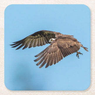 Osprey in flight at Honeymoon Island State Park Square Paper Coaster