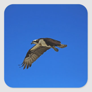 Osprey in Flight II Square Sticker