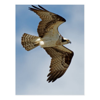 Osprey in Flight Postcard
