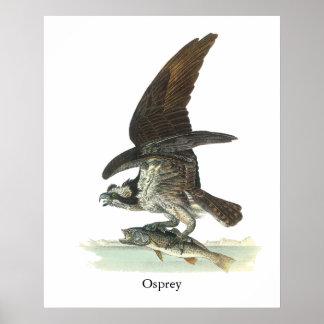 Osprey John Audubon Posters