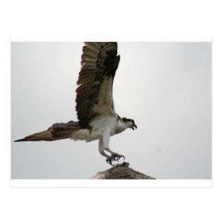 Osprey Landing Postcard