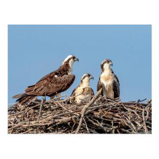 Osprey mom with her kids postcard