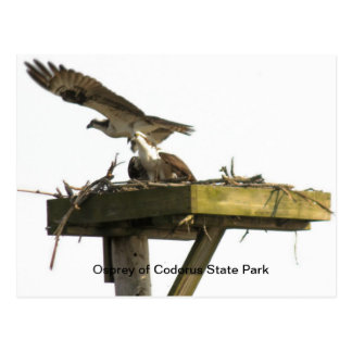 Osprey of Codorus State Park Postcard