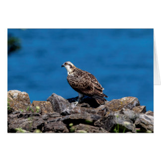 Osprey on the rocks card