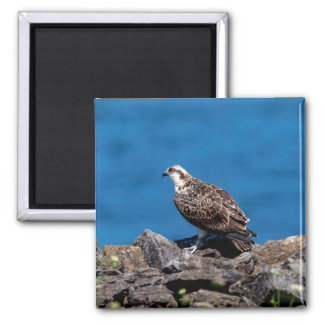 Osprey on the rocks magnet