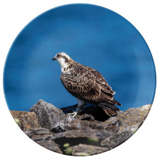 Osprey on the rocks plate