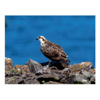 Osprey on the rocks postcard