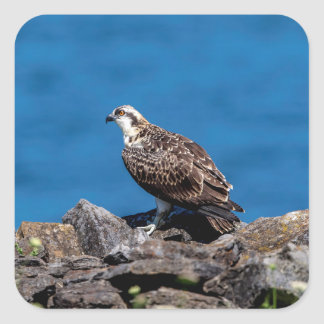 Osprey on the rocks square sticker
