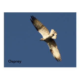 Osprey Postcard
