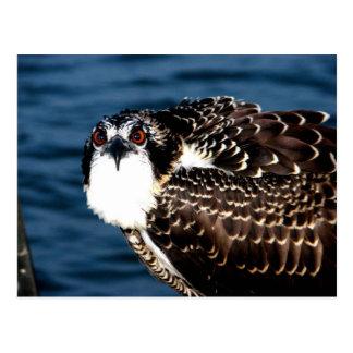 Osprey, Tilghman Island, Dogwood Harbor, Maryland Postcard