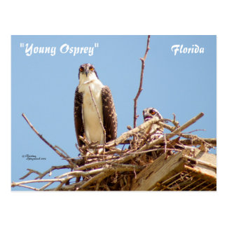 Ospreys Hawks Birds Postcard