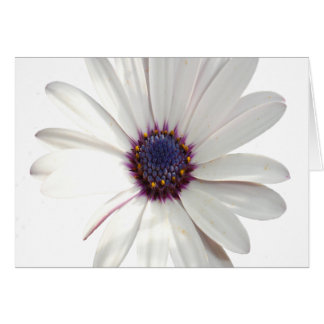 Osteospermum Daisy with Purple Centre Card