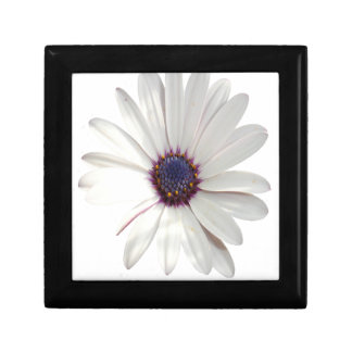 Osteospermum Daisy with Purple Centre Gift Box