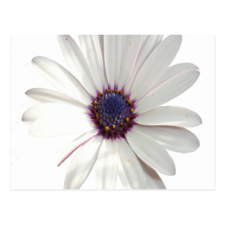 Osteospermum Daisy with Purple Centre Postcard