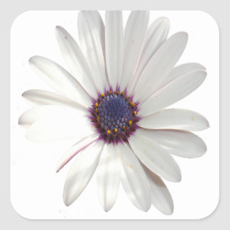 Osteospermum Daisy with Purple Centre Square Sticker