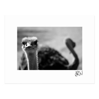 Ostrich Questionings Postcard