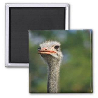 Ostrich Square Magnet