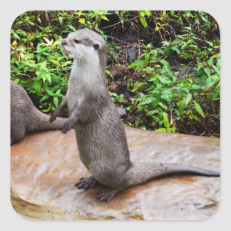 Otter Standing Waiting For Food, Square Stickers. Square Sticker