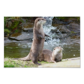 Otters by a waterfall poster