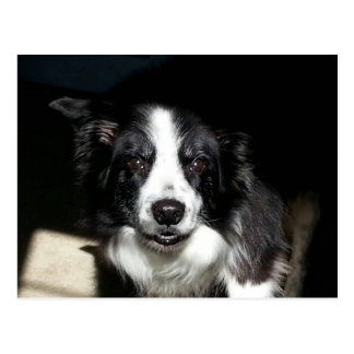 Our Beloved Border Collie Jake - postcard