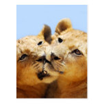Our cute lion faces post cards