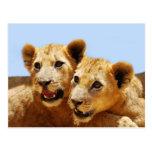Our cute lion faces postcard