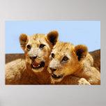 Our cute lion faces poster