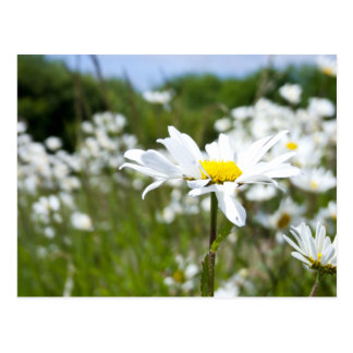 Ox-eye Daisies | Flower Postcard