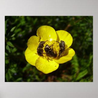Oxythyrea Funesta Beetles Poster