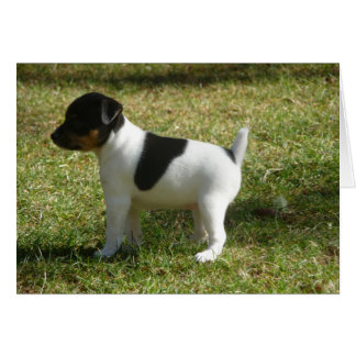 P1010024 Rat Terrier puppy Card