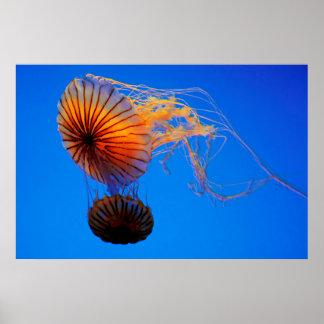 Pacific Sea Nettle (Chrysaora Fuscescens) Poster
