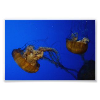 Pacific Sea Nettle Jellyfish Photo Print