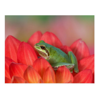 Pacific tree frog on flowers in our garden, 3 postcard