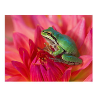 Pacific tree frog on flowers in our garden, 4 postcard