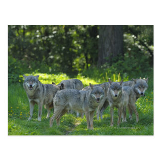 Pack of Wolves, Germany Postcard