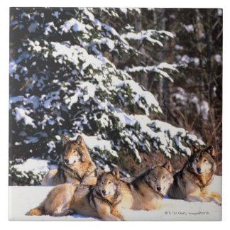 Pack of wolves in winter tile