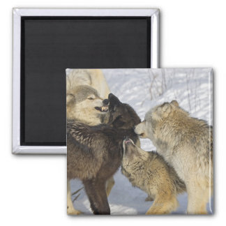 Pack of wolves interacting magnet