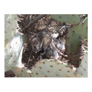 Packrat Mother with Babies Postcard