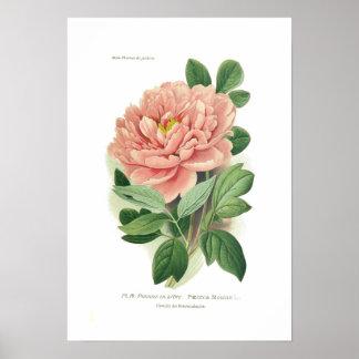 Paeonia moutan (Peony) Poster