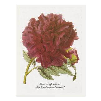 Paeonia suffruticosa 'deep blood-coloured moutan' postcard