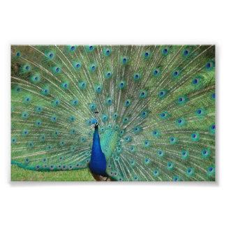 Paignton Peacock Photo