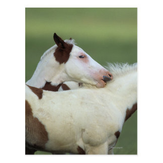 Paint Foals Playing Post Cards