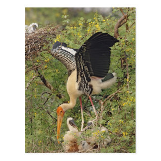 Painted Stork & youngones,Keoladeo National Postcard