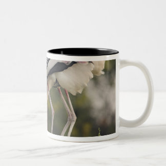 Painted Storks & youn one at nest,Keoladeo Two-Tone Coffee Mug