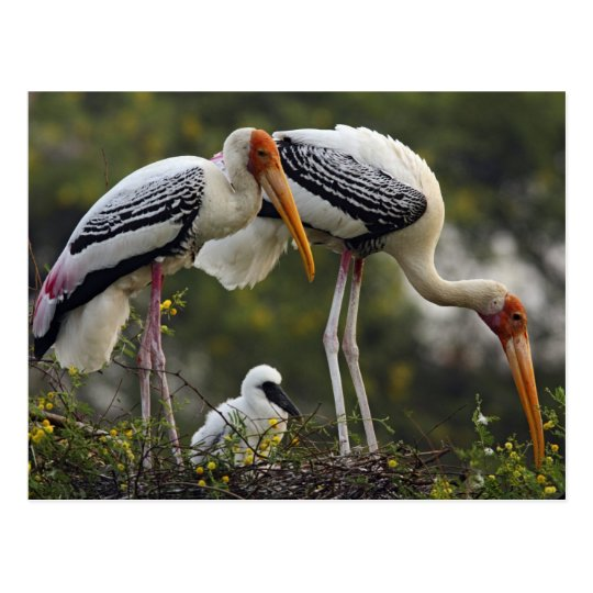 Painted Storks & young one at nest,Keoladeo Postcard