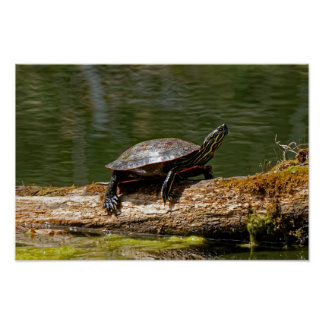 Painted Turtle on a Log Poster