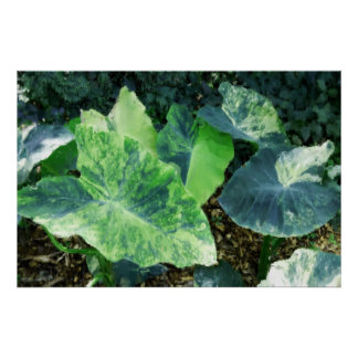 Painterly Watercolor Variegated Elephant Ears Poster