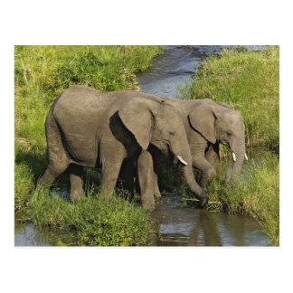 Pair of African Elephants feeding, Masai Mara, Postcard